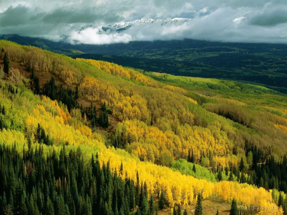 Aspen Forest in Early Fall, Ohio Pass, Gunnison National Forest, Colorado